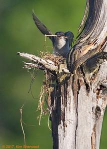 2nd kingbird nest - long strand