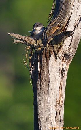 2nd kingbird nest - barely a foundation