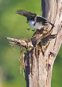 2nd kingbird nest - flyin' in the foundation