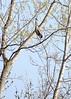 Goofy perched heron