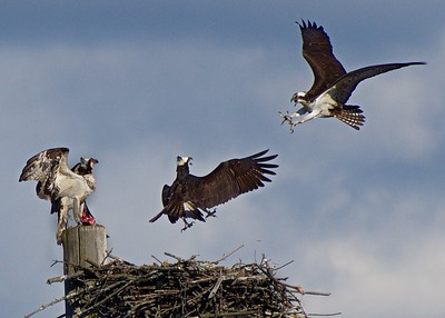 Eagles & Hawks (inc. Ospreys)