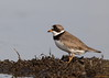 Poised (Semipalmated plover)