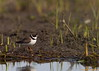 Looking for good eats (Semipalmated plover)