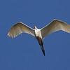 Alabastbird