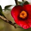 Camellia Magnolia Plantation -6144
