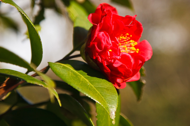 Camellia Magnolia Plantation -6204