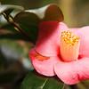 Camellia Magnolia Plantation -6171