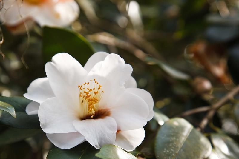 Camellia Magnolia Plantation -6126