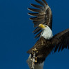 INCOMING ! ! !  exiting as a juvenile bald eagle approches
