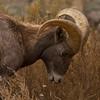 Rocky Mtn Big Horn Sheep. Big Horn Canyon between Salida and Cañon City Colorado