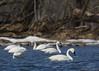 Angry swan