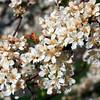 Sargent Tina Crab tree flowering