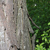 Shag bark hickory tree