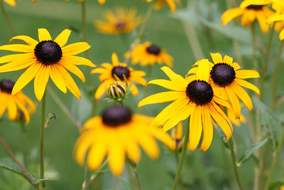 Black Eye Susan - 4