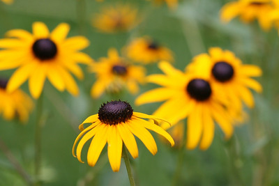Black Eye Susan - 5