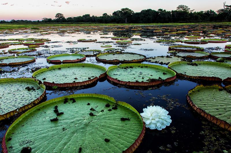 Giant Lily Pads, Pantanal, Brazil