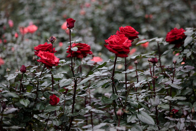 Portland, Oregon :: Portland Rose Garden :: October 2009