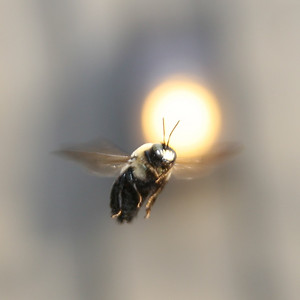 Bee in Flight - 3