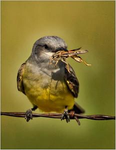 Western Kingbird & Catch