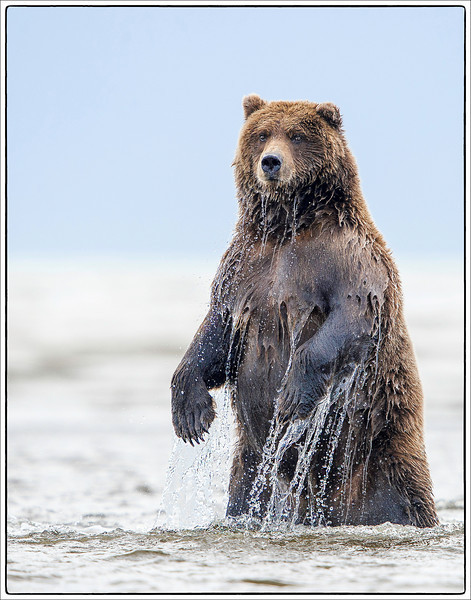 Fishing grizzly Alaska