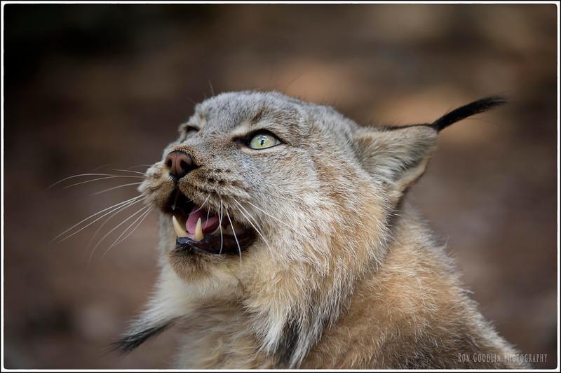 Lynx growl