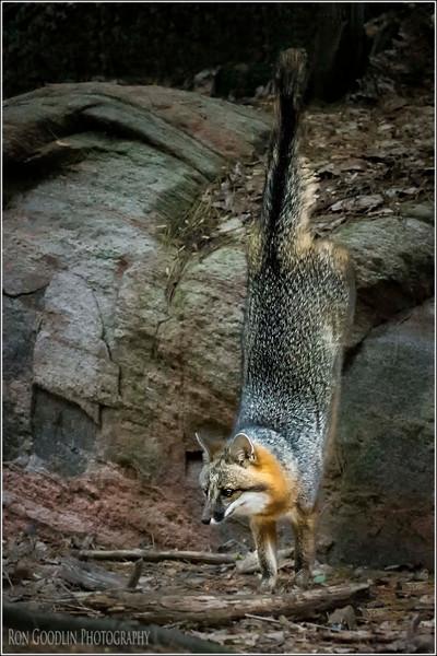 Grey Fox gymnast
