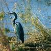 Blue Heron,