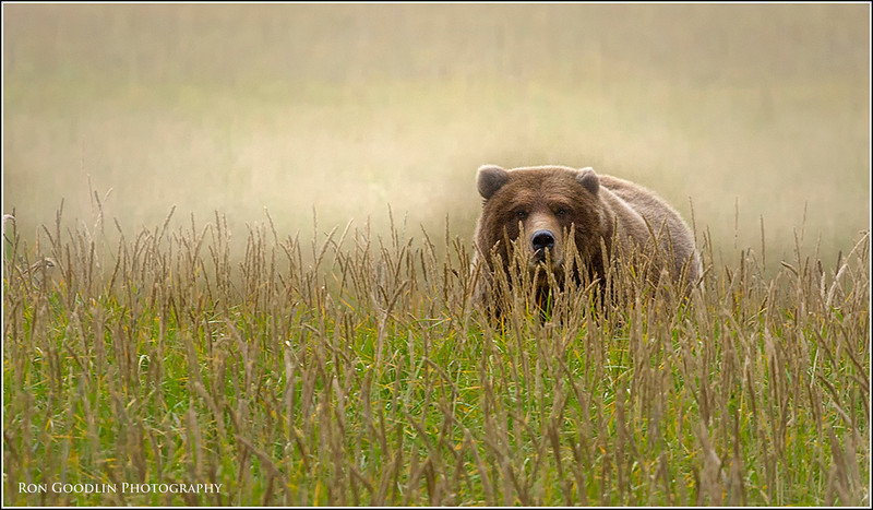 Grizzly Bear in Salt Marsh