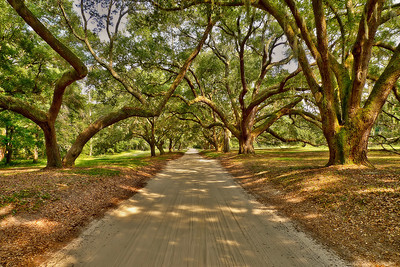 oak tree canopy