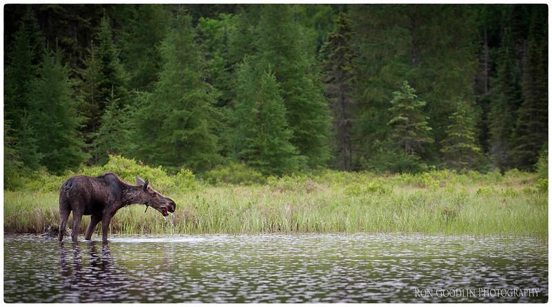 Algonquin Moose 2