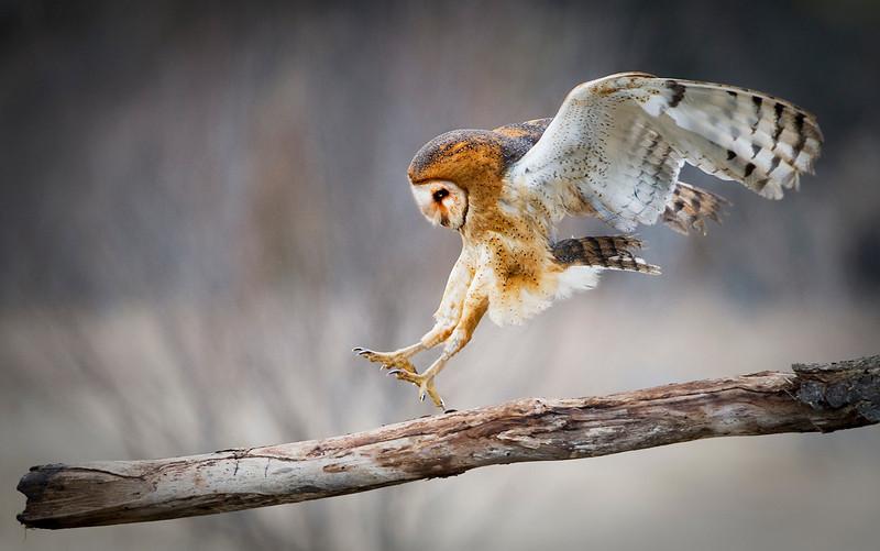 Bard owl landing