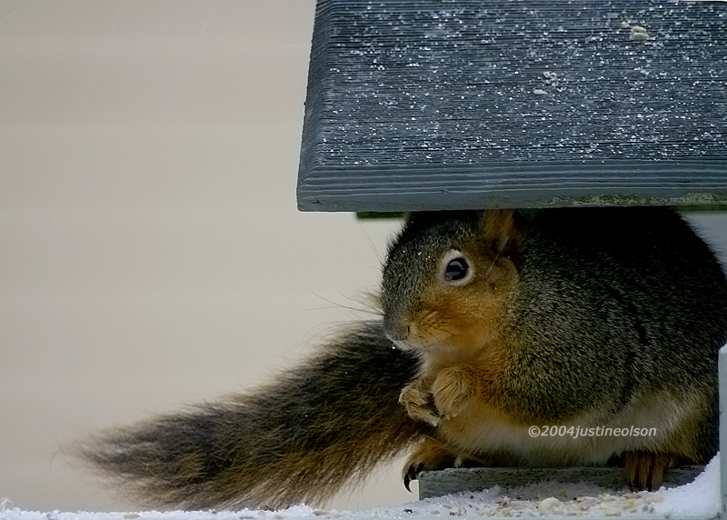 Squirrel hiding from the snow to have dinner.
