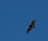 A real challenge for the AF and the photographer!  I think it's a common pipistrelle.