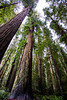 Towering Stand of Redwoods, Redwoods State Park, California