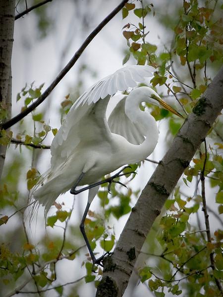 Egret tree climb