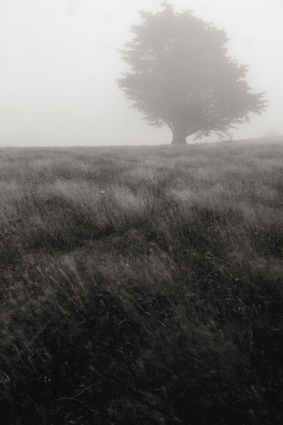 Foggy Tree, Banks Peninsula, New Zealand
