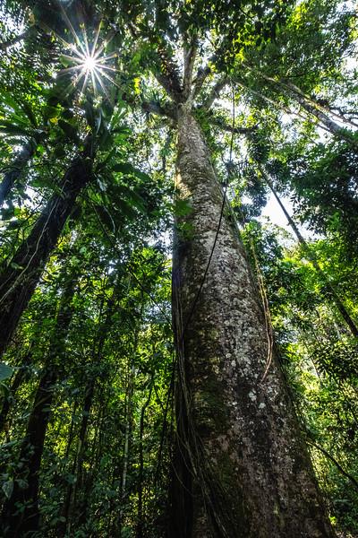 Sunlight Through Rainforest Canopy, Tambopato, Peru