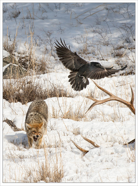 Raven stealing morsel of fallen elk from angry Coyote
