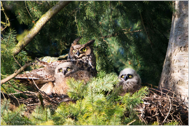 Nesting Great Horned owl and chicks