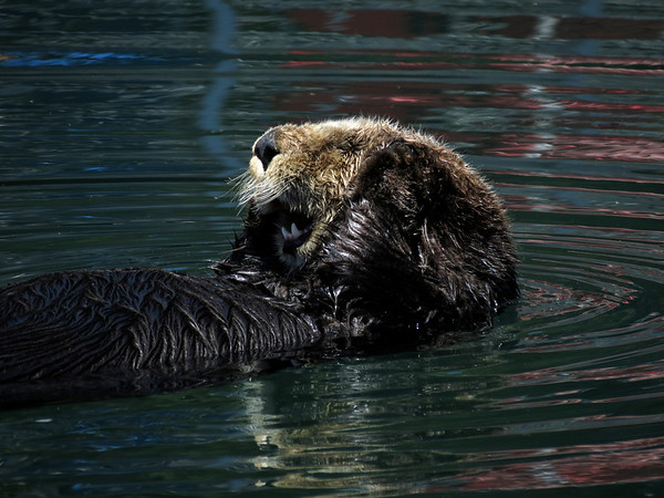 California Sea Otter (Enhydra lutris)