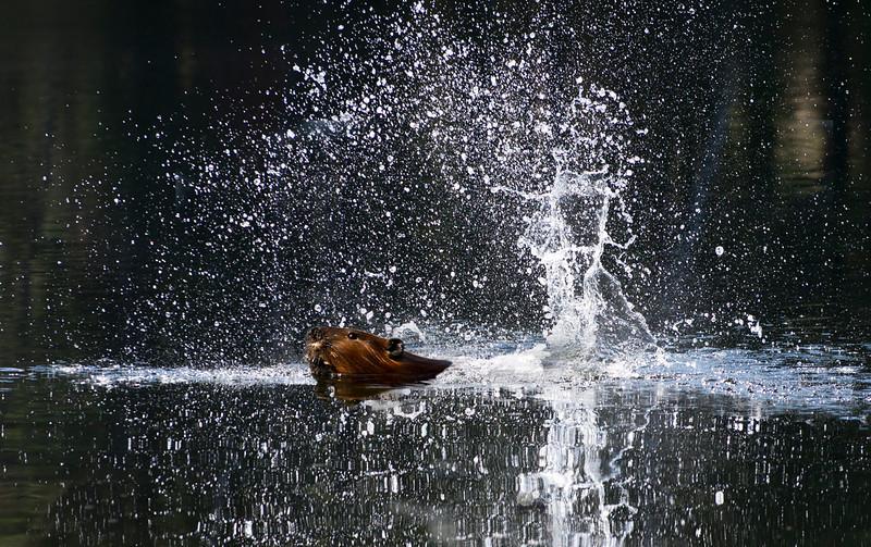 Beaver Slap