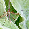 A macro image of a crane fly nestled in the lamb's ears in the garden.
