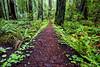 Natural Path, Redwoods National Park