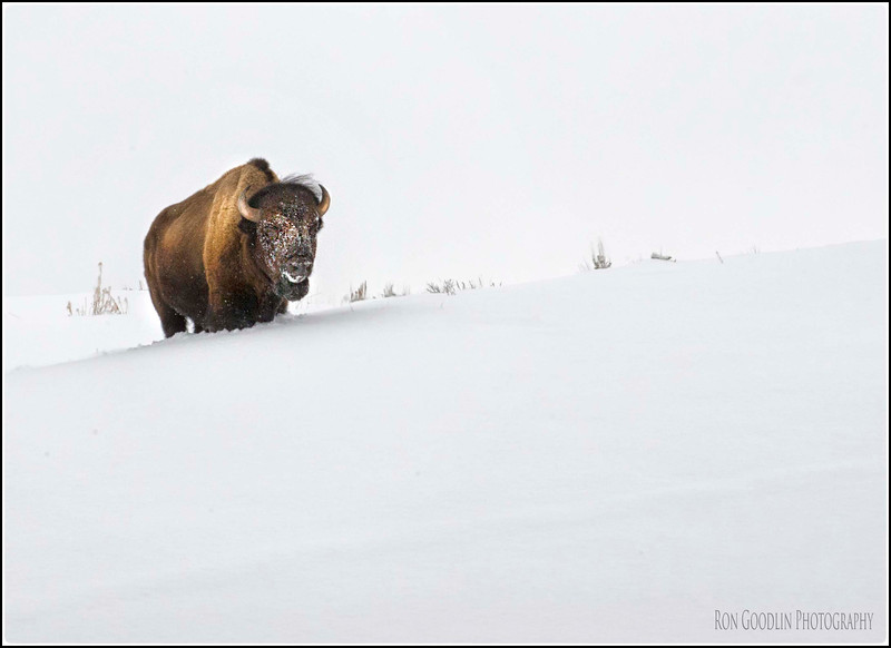 Yellowstone Bison in snow #1