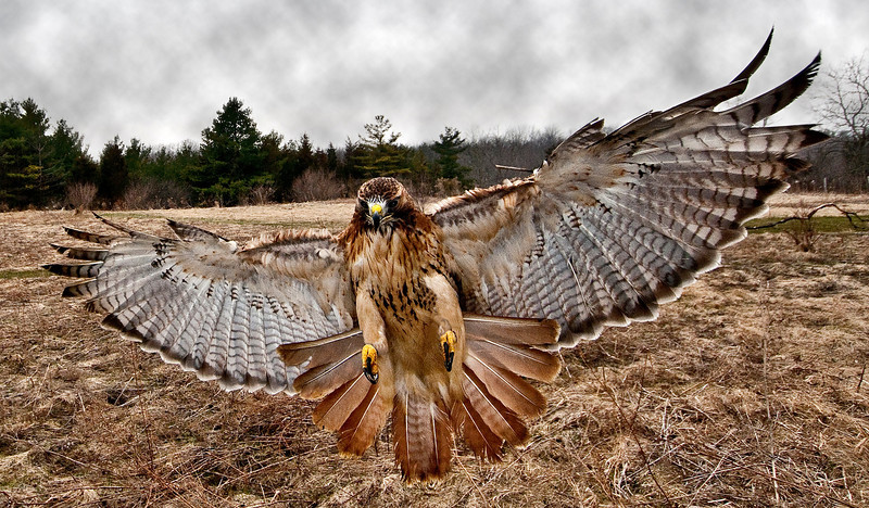 Red tail in for the prey