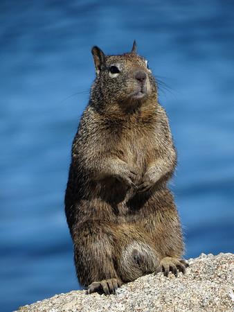 California ground squirrel (Otospermophilus beecheyi)