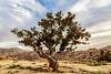 Desert Tree, Jordan
