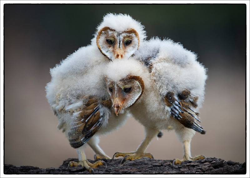 Owl chicks