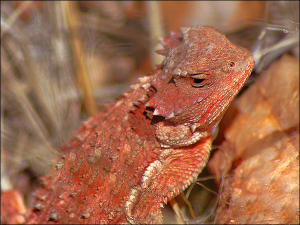 Horned Toad or Short-Horned Lizard