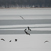 Eagles (adult bald, immature bald, and maybe a golden eagle or two?) fighting over a coot they plucked from the group.